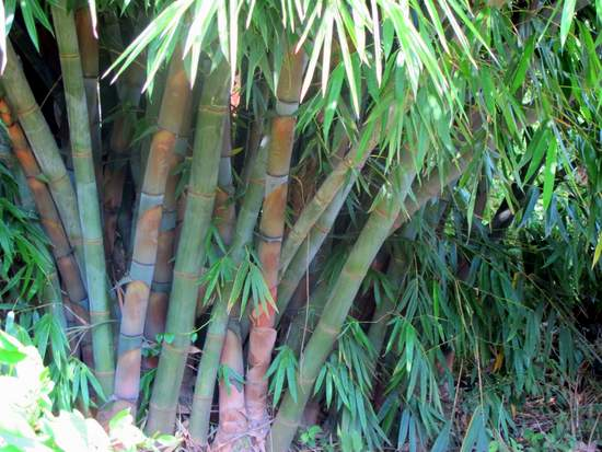 A Giant Bamboo plant on the edge of River Njoro in Nakuru, Kenya
