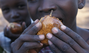 Boy eating the fruit of East African doum palm tree, Hyphaene compressa, in Lodwar, Turkana, Kenya. The fruits mature during droughts. Photo by Isaiah Esipisu
