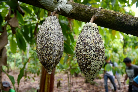 Badly-infected cocoa pods in Sulawesi. Photo by Enggar Paramita/ICRAF