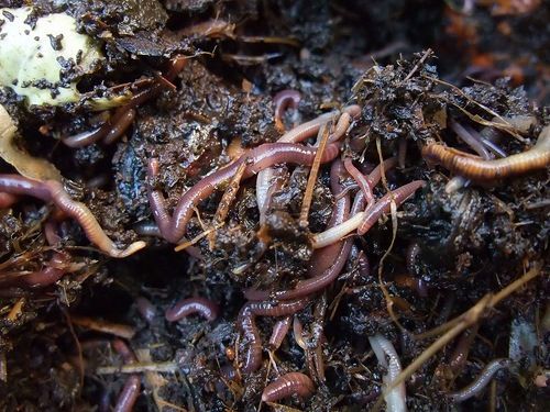 Earthworms. By Yun Huang Yong via Flikr