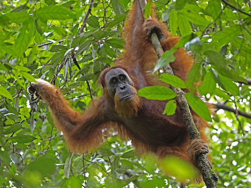 Losing the Sumatran orangutan would be a loss to the world over. Photo by Kip Lee