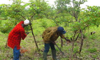 Farmers in Talensi, Ghana, regenerate their trees. Photo by Tony Rinaudo